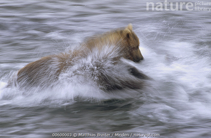 Grizzly Bear (Ursus arctos horribilis) chasing fish in shallow water, Katmai National Park, Alaska  ,  Alaska, Bear, Blurred Motion, Brown Bear, Chasing, Color Image, Day, Fishing, Grizzly Bear, Horizontal, ILCP, Katmai National Park, Motion, Nobody, One Animal, Photography, Portrait, Predator, Prey, Profile, Side View, Speed, Splashing, Three Quarter Length, Ursus arctos, USA, Wildlife,Grizzly Bear,Alaska, USA  ,  Matthias Breiter