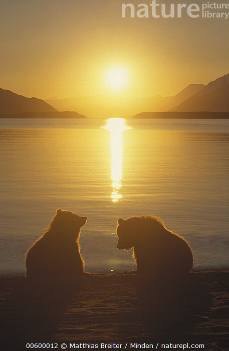 Grizzly Bear (Ursus arctos horribilis) cubs silhouetted against water at sunrise, Katmai National Park, Alaska, Alaska, Animal in Landscape, Back-lit, Bear, Brown Bear, Color Image, Cub, Cute, Friend, Full Length, Grizzly Bear, Horizon, ILCP, Katmai National Park, Landscape, Moody, Nobody, Photography, Rear View, Reflection, Sibling, Silhouette, Sun, Sunrise, Sunset, Two Animals, Ursus arctos, USA, Vertical, Wildlife,Grizzly Bear,Alaska, USA, Matthias Breiter