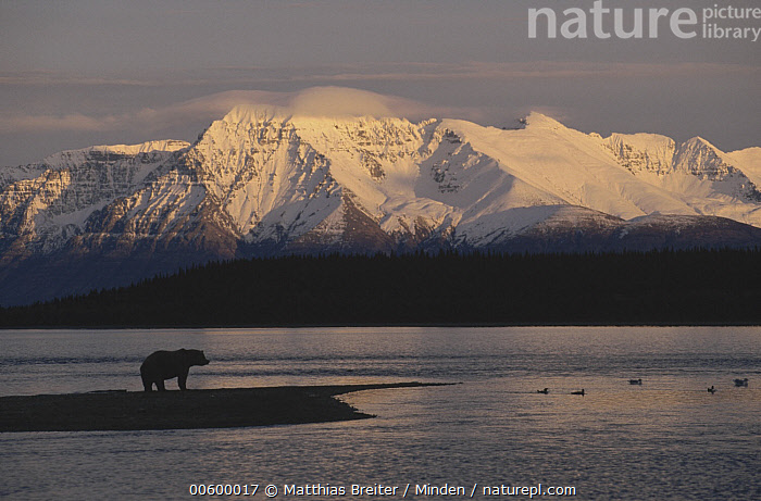 Grizzly Bear (Ursus arctos horribilis) on landspit silhouetted against Mt Katolinat, Alaska  ,  Alaska, Animal in Habitat, Animal in Landscape, Bear, Brown Bear, Color Image, Full Length, Grizzly Bear, Horizontal, ILCP, Lake, Landscape, Mount Katolinat, Nobody, One Animal, Photography, Profile, Side View, Silhouette, Solitude, Sunrise, Sunset, Ursus arctos, USA, Water, Wildlife,Grizzly Bear,Alaska, USA  ,  Matthias Breiter
