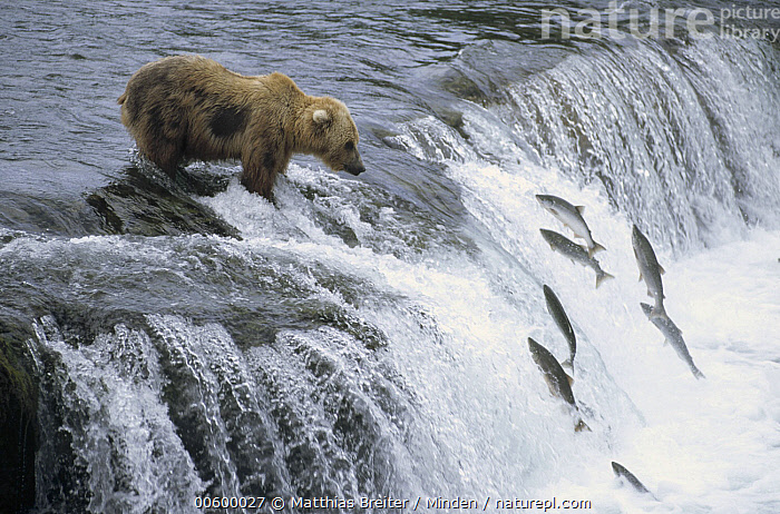 Grizzly Bear (Ursus arctos horribilis) fishing for spawning salmon at a waterfall, Katmai National Park, Alaska  ,  Alaska, Bear, Brown Bear, Color Image, Day, Fishing, Full Length, Grizzly Bear, Horizontal, ILCP, Katmai National Park, Medium Group of Animals, Nobody, Photography, Predator, Prey, Profile, Salmon, Side View, Spawning, Ursus arctos, USA, Waiting, Wildlife,Grizzly Bear,Alaska, USA  ,  Matthias Breiter