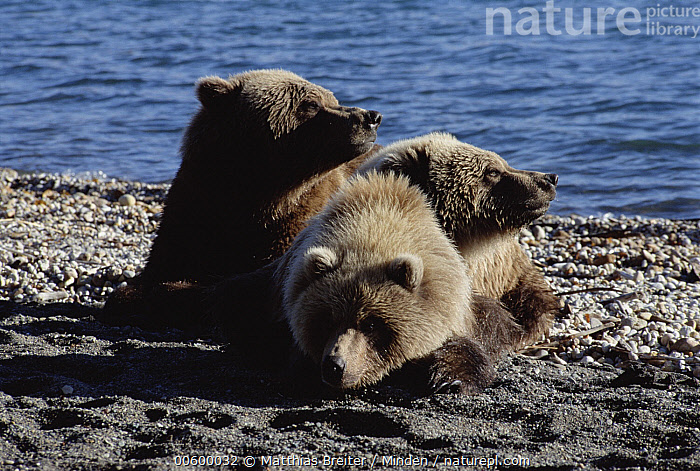 Grizzly Bear (Ursus arctos horribilis) mother and cub resting on shore, Naknek Lake, Katmai National Park, Alaska, Alaska, Bear, Brown Bear, Color Image, Cub, Day, Front View, Full Length, Grizzly Bear, Horizontal, ILCP, Katmai National Park, Mother, Naknek Lake, Nobody, Photography, Relaxing, Three Animals, Ursus arctos, USA, Water, Wildlife,Grizzly Bear,Alaska, USA, Matthias Breiter