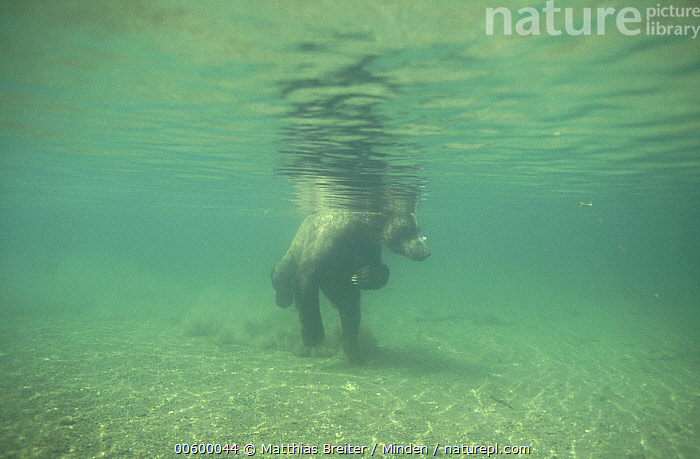 Grizzly Bear (Ursus arctos horribilis) swimming underwater in Brooks River, Katmai National Park, Alaska, Alaska, Bear, Brooks River, Brown Bear, Color Image, Day, Fishing, Full Length, Grizzly Bear, Horizontal, Humor, ILCP, Katmai National Park, Nobody, One Animal, Photography, Swimming, Underwater, Ursus arctos, USA, Wildlife,Grizzly Bear,Alaska, USA, Matthias Breiter