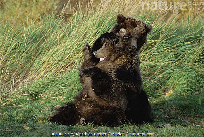 Grizzly Bear (Ursus arctos horribilis) yearling cubs playing, Katmai National Park, Alaska  ,  Alaska, Bear, Brown Bear, Color Image, Cub, Day, Front View, Full Length, Grizzly Bear, Horizontal, Humor, ILCP, Katmai National Park, Nobody, Photography, Playing, Two Animals, Ursus arctos, USA, Wildlife, Wrestling, Yearling,Grizzly Bear,Alaska, USA  ,  Matthias Breiter