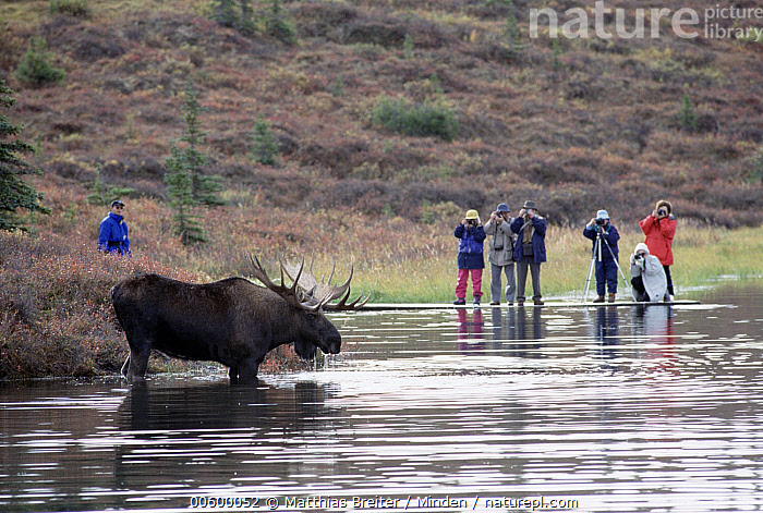 Alaska Moose (Alces alces gigas) bull and tourists at Wonder Lake, Denali National Park and Preserve, Alaska, Alces alces gigas, Alaska, Bull, Camera, Color Image, Day, Denali National Park and Preserve, Drinking, Front View, Full Length, Horizontal, ILCP, Lake, Medium Group of People, Moose, Observing, One Animal, Person, Photographing, Photography, Profile, Side View, Tourism, Tourist, USA, Watching, Water, Wildlife, Wonder Lake,Alaska Moose,Alaska, USA, Matthias Breiter