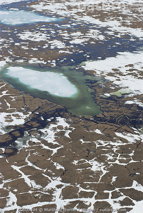 Muskox (Ovibos moschatus) group and tundra polygons, Arctic National Wildlife Refuge, Alaska, Aerial View, Alaska, Arctic National Wildlife Refuge, Color Image, Day, Global Warming, ILCP, Landscape, Muskox, Nobody, Ovibos moschatus, Photography, Spring, Tundra, Tundra Polygon, USA, Vertical, Wildlife,Muskox,Alaska, USA, Matthias Breiter
