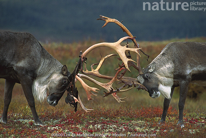 Caribou (Rangifer tarandus) two males sparring, Denali National Park and Preserve, Alaska, Aggression, Alaska, Antler, Autumn, Barren Ground Caribou, Bull, Caribou, Color Image, Competition, Day, Denali National Park and Preserve, Fighting, Head and Shoulders, Horizontal, ILCP, Nobody, Photography, Portrait, Profile, Rangifer tarandus, Reindeer, Side View, Sparring, Tundra, Two Animals, USA, Wildlife,Caribou,Alaska, USA, Matthias Breiter