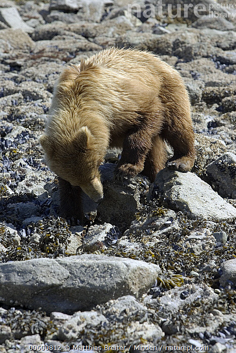 Grizzly Bear (Ursus arctos horribilis) juvenile turning over rocks in search of food at low tide, Katmai National Park, Alaska, Alaska, Bear, Brown Bear, Color Image, Day, Foraging, Front View, Full Length, Grizzly Bear, High Angle View, ILCP, Juvenile, Katmai National Park, Lifting, Looking, Low Tide, Nobody, One Animal, Photography, Power, Rock, Searching, Ursus arctos, USA, Vertical, Wildlife,Grizzly Bear,Alaska, USA, Matthias Breiter