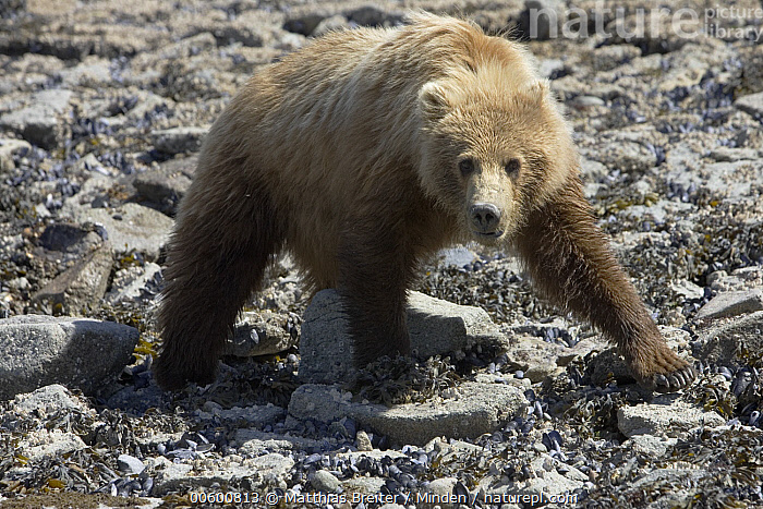 Grizzly Bear (Ursus arctos horribilis) juvenile searching for food at low tide, Katmai National Park, Alaska, Alaska, Bear, Brown Bear, Color Image, Day, Foraging, Front View, Full Length, Grizzly Bear, Horizontal, ILCP, Juvenile, Katmai National Park, Looking at Camera, Low Tide, Nobody, One Animal, Photography, Searching, Ursus arctos, USA, Walking, Wildlife,Grizzly Bear,Alaska, USA, Matthias Breiter
