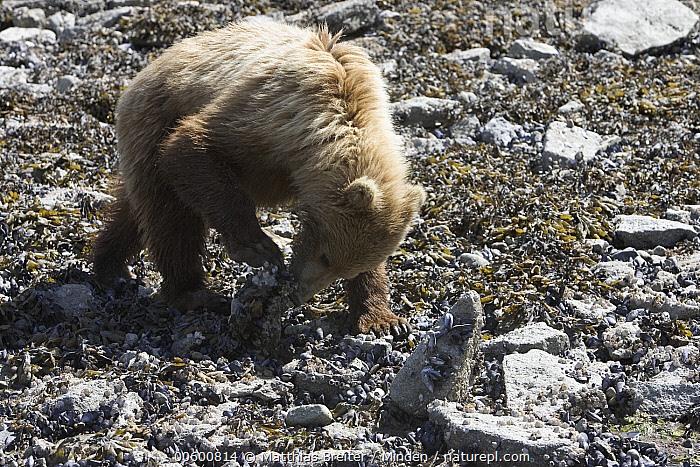 Grizzly Bear (Ursus arctos horribilis) juvenile turning over rocks in search of food at low tide, Katmai National Park, Alaska  ,  Alaska, Bear, Brown Bear, Color Image, Day, Foraging, Full Length, Grizzly Bear, Horizontal, ILCP, Juvenile, Katmai National Park, Lifting, Looking, Low Tide, Nobody, One Animal, Photography, Power, Profile, Rock, Searching, Side View, Ursus arctos, USA, Wildlife,Grizzly Bear,Alaska, USA  ,  Matthias Breiter