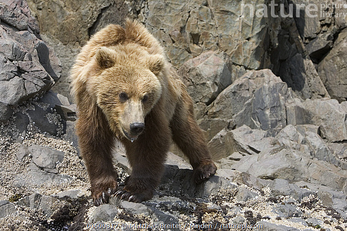 Grizzly Bear (Ursus arctos horribilis) juvenile searching for food at low tide, Katmai National Park, Alaska, Alaska, Bear, Brown Bear, Color Image, Day, Foraging, Front View, Full Length, Grizzly Bear, Horizontal, ILCP, Juvenile, Katmai National Park, Low Tide, Nobody, One Animal, Photography, Searching, Ursus arctos, USA, Walking, Wildlife,Grizzly Bear,Alaska, USA, Matthias Breiter