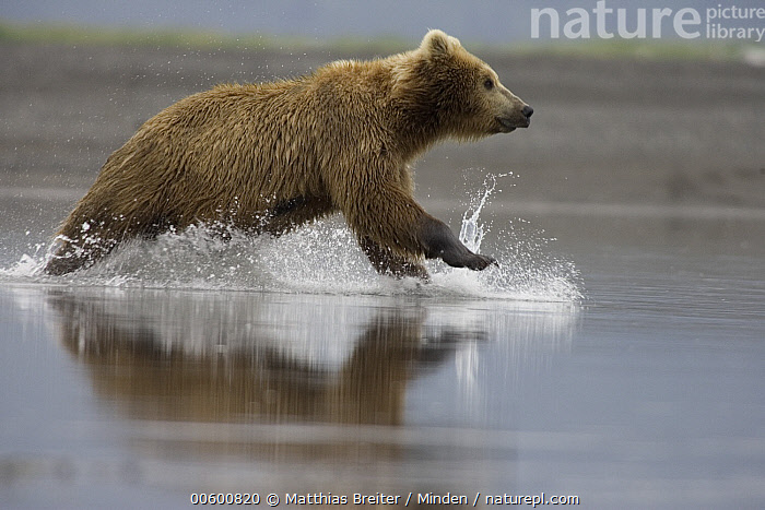Grizzly Bear (Ursus arctos horribilis) adult female chasing salmon in shallows, Katmai National Park, Alaska, Adult, Alaska, Bear, Brown Bear, Chasing, Color Image, Creek, Day, Female, Fishing, Full Length, Grizzly Bear, Horizontal, Hungry, Hunting, ILCP, Katmai National Park, Nobody, One Animal, Outdoors, Photography, Powerful, Profile, Running, Salmon, Shallow, Side View, Speed, Splashing, Ursus arctos, USA, Water, Wildlife,Grizzly Bear,Alaska, USA, Matthias Breiter