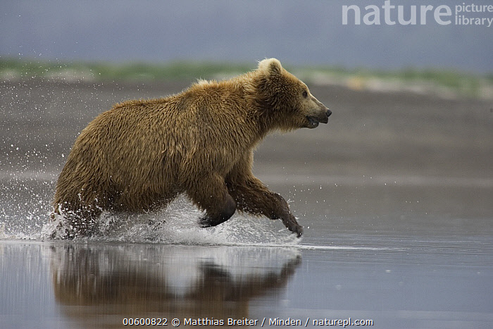 Grizzly Bear (Ursus arctos horribilis) adult female chasing Salmon in shallows, Katmai National Park, Alaska, Adult, Alaska, Bear, Brown Bear, Chasing, Color Image, Creek, Day, Female, Fishing, Full Length, Grizzly Bear, Horizontal, Hungry, Hunting, ILCP, Katmai National Park, Nobody, One Animal, Photography, Power, Profile, River, Running, Salmon, Shallow, Side View, Speed, Splashing, Ursus arctos, USA, Water, Wildlife,Grizzly Bear,Alaska, USA, Matthias Breiter