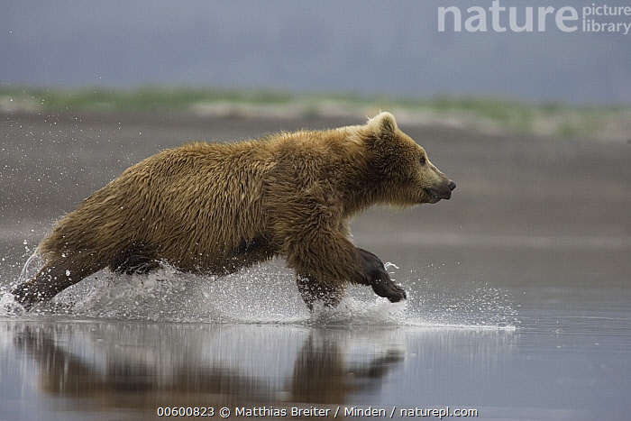 Grizzly Bear (Ursus arctos horribilis) adult female chasing salmon in shallows, Katmai National Park, Alaska, Adult, Alaska, Bear, Brown Bear, Chasing, Color Image, Creek, Day, Female, Fishing, Full Length, Grizzly Bear, Horizontal, Hungry, Hunting, ILCP, Katmai National Park, Nobody, One Animal, Photography, Powerful, Profile, Running, Salmon, Shallow, Side View, Speed, Splashing, Ursus arctos, USA, Water, Wildlife,Grizzly Bear,Alaska, USA, Matthias Breiter