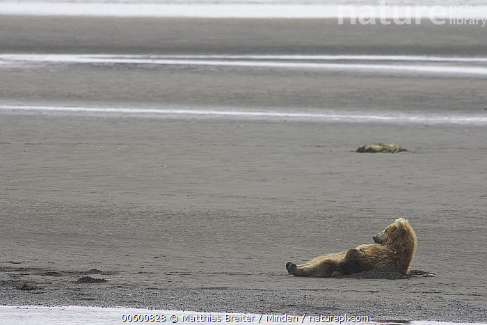 Grizzly Bear (Ursus arctos horribilis) adult female taking a look around between naps on tidal flats, Katmai National Park, Alaska, Adult, Alaska, Bear, Brown Bear, Color Image, Day, Female, Full Length, Grizzly Bear, Horizontal, Humor, ILCP, Katmai National Park, Looking, Lounging, Low Tide, Lying, Nobody, One Animal, Photography, Profile, Side View, Sleeping, Tidal Flat, Ursus arctos, USA, Wildlife,Grizzly Bear,Alaska, USA, Matthias Breiter