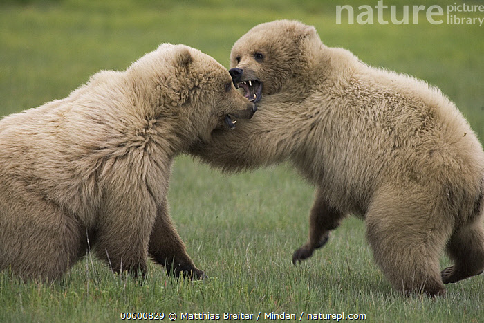 Grizzly Bear (Ursus arctos horribilis) two juveniles play-fighting, Katmai National Park, Alaska  ,  Alaska, Bear, Brown Bear, Color Image, Competition, Day, Fighting, Full Length, Grizzly Bear, Horizontal, ILCP, Interacting, Juvenile, Katmai National Park, Nobody, Photography, Play Fighting, Profile, Side View, Sparring, Two Animals, Ursus arctos, USA, Wildlife,Grizzly Bear,Alaska, USA  ,  Matthias Breiter