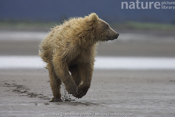 Grizzly Bear (Ursus arctos horribilis) juvenile running from adult female, Katmai National Park, Alaska, Alaska, Bear, Brown Bear, Chasing, Color Image, Day, Front View, Full Length, Grizzly Bear, Horizontal, ILCP, Juvenile, Katmai National Park, Mother, Nobody, One Animal, Photography, Running, Tidal Flat, Ursus arctos, USA, Wildlife,Grizzly Bear,Alaska, USA, Matthias Breiter