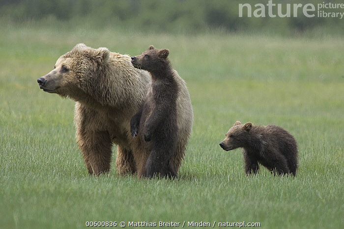 Grizzly Bear (Ursus arctos horribilis) adult female with two yearling cubs on sedge flats, Katmai National Park, Alaska, Adult, Alaska, Alert, Bear, Brown Bear, Color Image, Cub, Day, Family, Front View, Full Length, Grizzly Bear, Horizontal, ILCP, Katmai National Park, Looking, Meadow, Mother, Nobody, Photography, Standing, Three Animals, Ursus arctos, USA, Wildlife,Grizzly Bear,Alaska, USA, Matthias Breiter