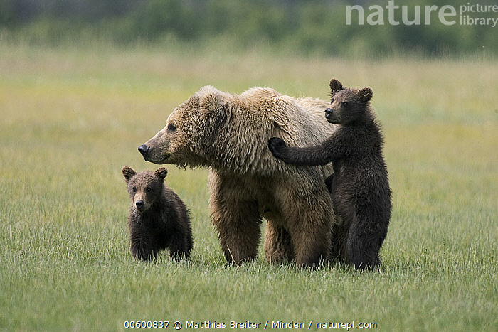 Grizzly Bear (Ursus arctos horribilis) adult female with two yearling cubs on sedge flats, Katmai National Park, Alaska  ,  Adult, Alaska, Alert, Bear, Brown Bear, Color Image, Cub, Day, Family, Front View, Full Length, Grizzly Bear, Horizontal, ILCP, Katmai National Park, Looking, Mother, Nobody, Photography, Standing, Three Animals, Ursus arctos, USA, Wildlife,Grizzly Bear,Alaska, USA  ,  Matthias Breiter