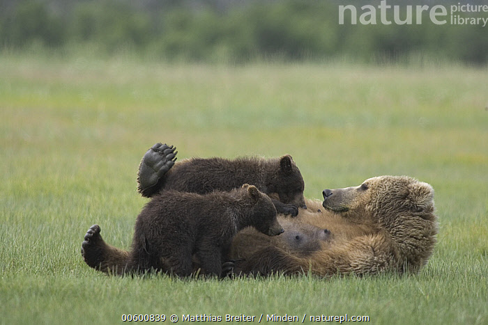 Grizzly Bear (Ursus arctos horribilis) adult female nursing her two yearling cubs on sedge flats, Katmai National Park, Alaska, Adult, Alaska, Bear, Breast, Brown Bear, Color Image, Cub, Day, Eating, Flat, Full Length, Grizzly Bear, Horizontal, ILCP, Katmai National Park, Lying, Mother, Nobody, Nursing, Outdoors, Parent, Photography, Sibling, Side View, Three Animals, Twin, Ursus arctos, USA, Wildlife,Grizzly Bear,Alaska, USA, Matthias Breiter