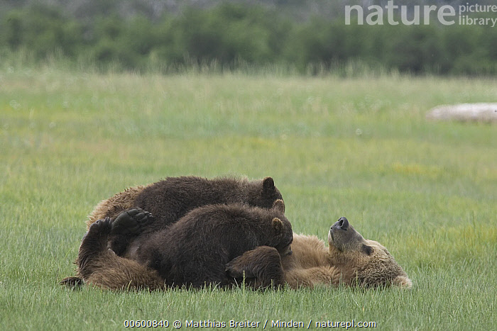 Grizzly Bear (Ursus arctos horribilis) adult female nursing her two yearling cubs on sedge flats, Katmai National Park, Alaska  ,  Adult, Alaska, Bear, Breast, Brown Bear, Color Image, Cub, Day, Eating, Flat, Full Length, Grizzly Bear, Horizontal, ILCP, Katmai National Park, Lying, Mother, Nobody, Nursing, Parent, Photography, Sibling, Side View, Three Animals, Twin, Ursus arctos, USA, Wildlife,Grizzly Bear,Alaska, USA  ,  Matthias Breiter