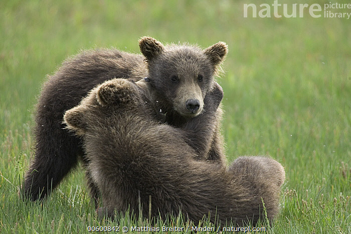 Grizzly Bear (Ursus arctos horribilis) two yearling cubs play-fighting, Katmai National Park, Alaska  ,  Alaska, Bear, Brown Bear, Color Image, Competition, Cub, Cute, Day, Fighting, Front View, Full Length, Grizzly Bear, Horizontal, ILCP, Katmai National Park, Kissing, Learning, Nobody, Photography, Play Fighting, Sibling, Side View, Sparring, Two Animals, Ursus arctos, USA, Wildlife, Yearling,Grizzly Bear,Alaska, USA  ,  Matthias Breiter