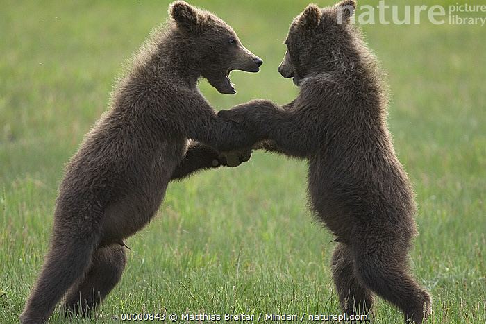 Grizzly Bear (Ursus arctos horribilis) two yearling cubs play-fighting, Katmai National Park, Alaska, Alaska, Bear, Brown Bear, Color Image, Competition, Cub, Dancing, Day, Fighting, Full Length, Grizzly Bear, Horizontal, ILCP, Katmai National Park, Learning, Nobody, Photography, Play Fighting, Sibling, Side View, Sparring, Standing, Two Animals, Ursus arctos, USA, Wildlife, Yearling,Grizzly Bear,Alaska, USA, Matthias Breiter
