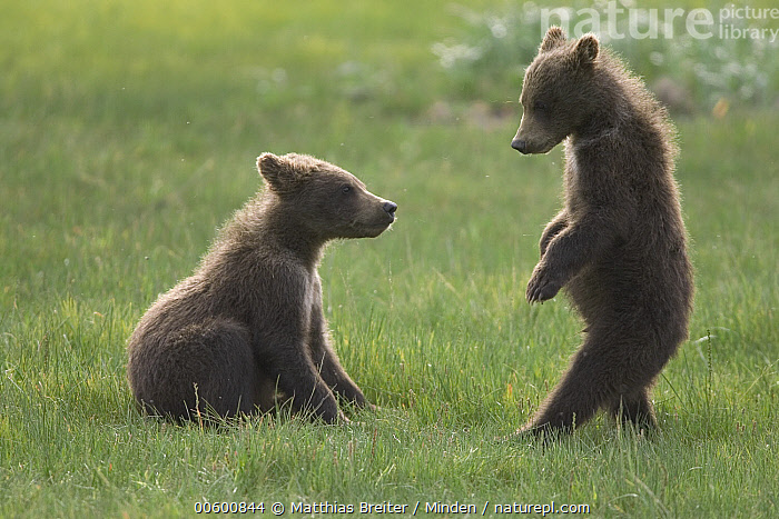 Grizzly Bear (Ursus arctos horribilis) two yearling cubs play-fighting, Katmai National Park, Alaska, Alaska, Bear, Brown Bear, Color Image, Competition, Cub, Day, Fighting, Full Length, Grizzly Bear, Horizontal, ILCP, Katmai National Park, Learning, Nobody, Photography, Play Fighting, Sibling, Side View, Sparring, Standing, Two Animals, Ursus arctos, USA, Wildlife, Yearling,Grizzly Bear,Alaska, USA, Matthias Breiter