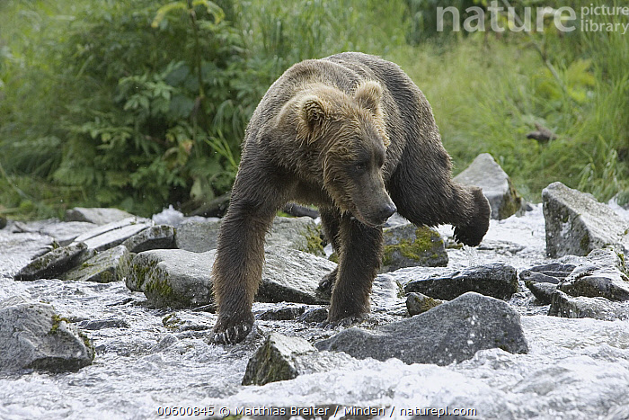 Grizzly Bear (Ursus arctos horribilis) young male searching for salmon in creek, Katmai National Park, Alaska, Alaska, Bear, Brown Bear, Color Image, Creek, Crossing, Day, Fishing, Front View, Full Length, Grizzly Bear, Horizontal, Hunting, ILCP, Katmai National Park, Looking, Male, Nobody, One Animal, Photography, Salmon, Searching, Ursus arctos, USA, Water, Wildlife, Young,Grizzly Bear,Alaska, USA, Matthias Breiter