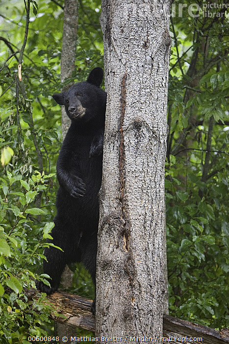 Black Bear (Ursus americanus) juvenile standing upright in forest, Orr, Minnesota, Alert, Bear, Black Bear, Color Image, Day, Forest Habitat, Front View, Full Length, ILCP, Juvenile, Minnesota, Nobody, One Animal, Orr, Photography, Standing, Tree, Tree Trunk, Ursus americanus, USA, Vertical, Wildlife,Black Bear,Minnesota, USA, Matthias Breiter