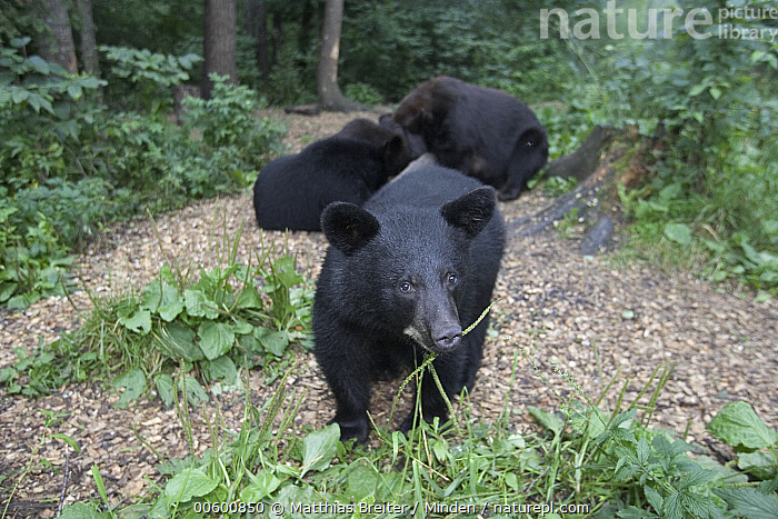 Black Bear (Ursus americanus) curious yearling with its mother sibling in back, Orr, Minnesota, Bear, Black Bear, Color Image, Cub, Curiosity, Day, Eating, Family, Foraging, Forest Habitat, Front View, Full Length, High Angle View, Horizontal, ILCP, Minnesota, Nobody, Orr, Photography, Three Animals, Ursus americanus, USA, Wildlife,Black Bear,Minnesota, USA, Matthias Breiter