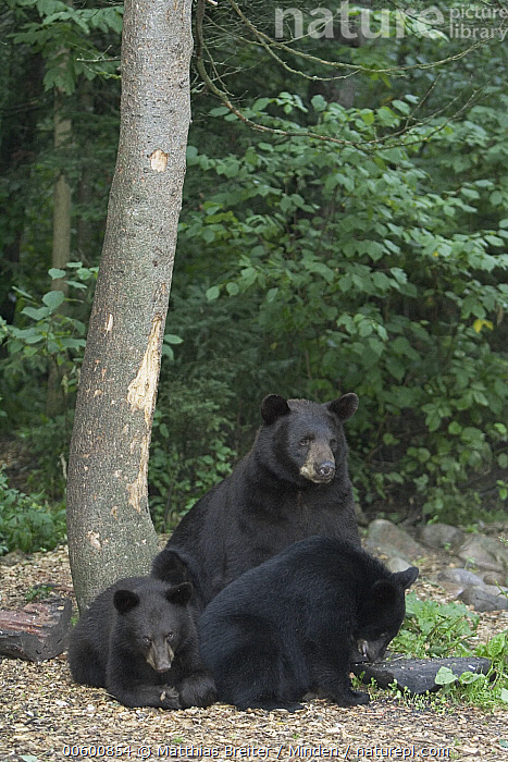 Black Bear (Ursus americanus) adult female with twin yearling cubs in the forest, Orr, Minnesota, Adult, Bear, Black, Black Bear, Color Image, Cub, Day, Forest Habitat, Front View, Full Length, ILCP, Minnesota, Mother, Nobody, Orr, Photography, Side View, Three Animals, Twin, Ursus americanus, USA, Vertical, Wildlife, Yearling,Black Bear,Minnesota, USA, Matthias Breiter