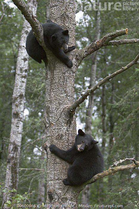 Black Bear (Ursus americanus) two cubs in tree, Orr, Minnesota  ,  Bear, Black Bear, Climbing, Color Image, Cub, Day, Forest Habitat, Full Length, ILCP, Low Angle View, Minnesota, Nobody, Orr, Outdoors, Photography, Safety, Sibling, Side View, Tree, Two Animals, Ursus americanus, USA, Vertical, Wildlife,Black Bear,Minnesota, USA  ,  Matthias Breiter