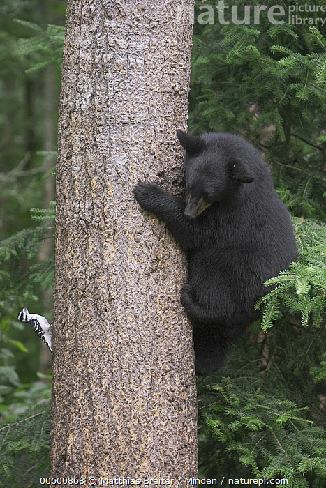 Black Bear (Ursus americanus) 10 month old cub climbing tree trunk inspects a Hairy Woodpecker (Picoides villosus), Orr, Minnesota, Bear, Black, Black Bear, Climbing, Color Image, Cub, Curiosity, Day, Difference, Forest Habitat, Full Length, Hairy Woodpecker, Humor, ILCP, Looking, Minnesota, Nobody, Observing, One Animal, Orr, Photography, Picoides villosus, Side View, Tree, Tree Trunk, Ursus americanus, USA, Vertical, Watching, Wildlife,Black Bear,Hairy Woodpecker,Picoides villosus,Minnesota, USA, Matthias Breiter