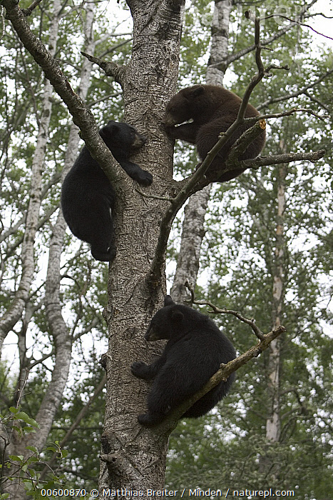 Black Bear (Ursus americanus) three cubs from different litters in a tree together, Orr, Minnesota, Bear, Black, Black Bear, Climbing, Color Image, Cub, Day, Full Length, ILCP, Low Angle View, Minnesota, Nobody, Orr, Photography, Safety, Side View, Three Animals, Tree, Ursus americanus, USA, Vertical, Wildlife,Black Bear,Minnesota, USA, Matthias Breiter