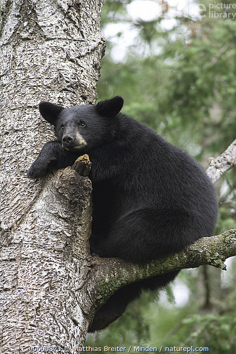 Black Bear (Ursus americanus) cub resting in tree, Orr, Minnesota  ,  Adult, Bear, Black Bear, Close Up, Color Image, Cub, Day, Full Length, ILCP, Low Angle View, Minnesota, Nobody, One Animal, Orr, Photography, Resting, Safety, Side View, Tree, Tree Trunk, Ursus americanus, USA, Vertical, Wildlife,Black Bear,Minnesota, USA  ,  Matthias Breiter