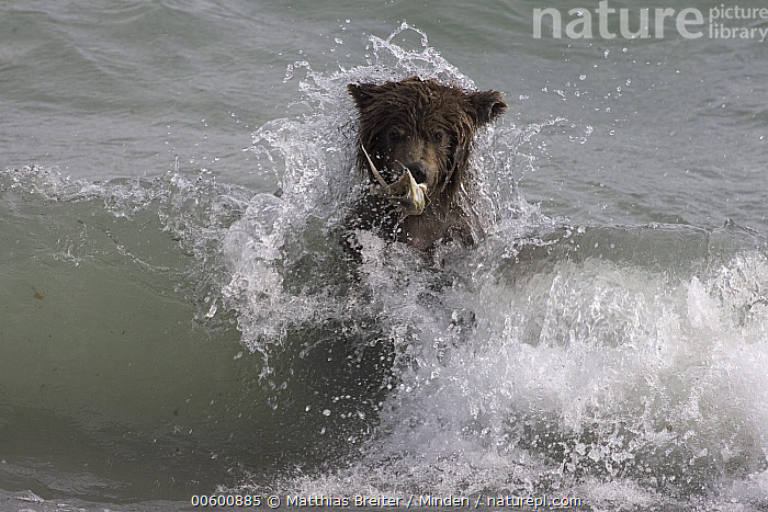 Grizzly Bear (Ursus arctos horribilis) adult female catching spawned-out salmon along lake shore during fall storm, Katmai National Park, Alaska, Adult, Alaska, Autumn, Bear, Brown Bear, Color Image, Crashing, Day, Front View, Grizzly Bear, Head and Shoulders, Horizontal, Hunting, ILCP, Katmai National Park, Lake, Mother, Nobody, One Animal, Photography, Salmon, Searching, Splashing, Storm, Ursus arctos, USA, Water, Wave, Wet, Wildlife,Grizzly Bear,Alaska, USA, Matthias Breiter