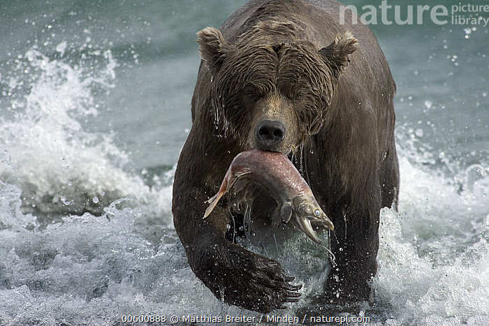 Grizzly Bear (Ursus arctos horribilis) female with a spawned-out salmon along lake shore during fall storm, Katmai National Park, Alaska, Adult, Alaska, Autumn, Bear, Brown Bear, Color Image, Day, Fishing, Front View, Full Length, Grabbing, Grizzly Bear, Horizontal, ILCP, Katmai National Park, Lake, Looking at Camera, Mother, Mouth, Nobody, Photography, Prey, Salmon, Storm, Two Animals, Ursus arctos, USA, Water, Wave, Wet, Wildlife,Grizzly Bear,Alaska, USA, Matthias Breiter