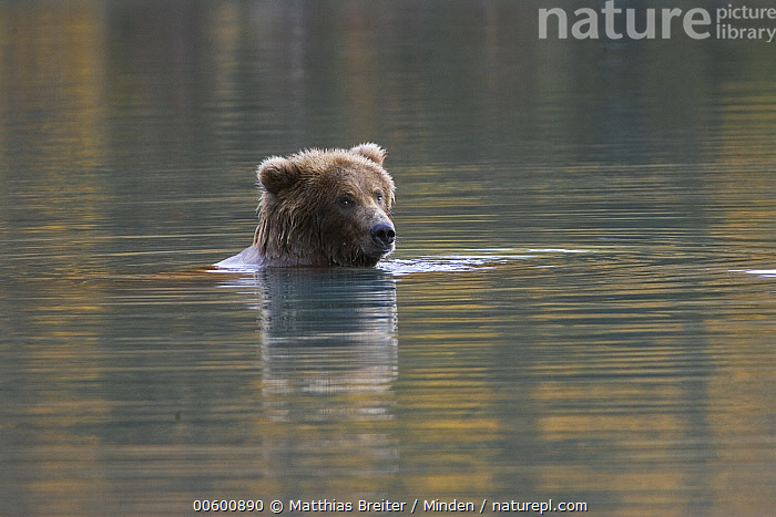 Grizzly Bear (Ursus arctos horribilis) adult female in lake with fall foliage reflecting in water, Katmai National Park, Alaska  ,  Adult, Alaska, Autumn, Bathing, Bear, Brown Bear, Color Image, Colorful, Day, Face, Female, Front View, Grizzly Bear, Head and Shoulders, Horizontal, ILCP, Katmai National Park, Lake, Nobody, One Animal, Photography, Portrait, Reflection, Relaxing, Swimming, Ursus arctos, USA, Water, Wildlife,Grizzly Bear,Alaska, USA  ,  Matthias Breiter