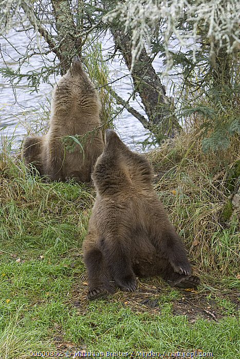 Grizzly Bear (Ursus arctos horribilis) two yearling cubs sniffing the air, Katmai National Park, Alaska  ,  Alaska, Bear, Brown Bear, Color Image, Cub, Day, Front View, Full Length, Grizzly Bear, ILCP, Katmai National Park, Looking Up, Nobody, Photography, Sensing, Sibling, Sitting, Smelling, Sniffing, Together, Two Animals, Ursus arctos, USA, Vertical, Wildlife, Yearling,Grizzly Bear,Alaska, USA  ,  Matthias Breiter