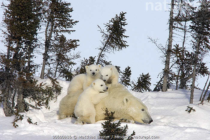 Polar Bear (Ursus maritimus) trio of three month old cubs and mother resting among white spruce, vulnerable, Wapusk National Park, Manitoba, Canada, Baby, Canada, Climbing, Color Image, Cub, Cute, Day, Four Animals, Horizontal, ILCP, Manitoba, Marine Mammal, Mother, Outdoors, Photography, Playing, Polar Bear, Sibling, Snow, Threatened Species, Ursus maritimus, Vulnerable Species, Wapusk National Park, White Spruce, Wildlife, Winter,Polar Bear,Canada, Matthias Breiter