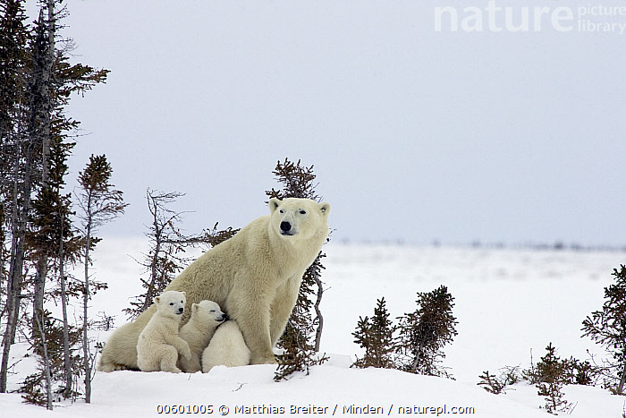 Polar Bear (Ursus maritimus) trio of three month old cubs and mother among white spruce, vulnerable, Wapusk National Park, Manitoba, Canada, Baby, Canada, Color Image, Cub, Day, Four Animals, Horizontal, ILCP, Manitoba, Marine Mammal, Mother, Outdoors, Photography, Polar Bear, Sibling, Snow, Threatened Species, Ursus maritimus, Vulnerable Species, Wapusk National Park, White Spruce, Wildlife, Winter,Polar Bear,Canada, Matthias Breiter