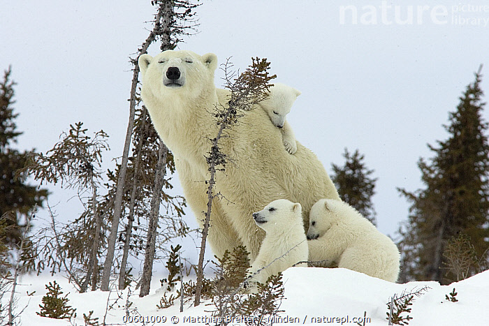 Polar Bear (Ursus maritimus) trio of three month old cubs and mother among white spruce, cubs playing and climbing on mother, vulnerable, Wapusk National Park, Manitoba, Canada, Baby, Canada, Climbing, Color Image, Cub, Cuddling, Day, Four Animals, Horizontal, ILCP, Manitoba, Marine Mammal, Mother, Outdoors, Photography, Polar Bear, Sibling, Snow, Snuggling, Threatened Species, Ursus maritimus, Vulnerable Species, Wapusk National Park, White Spruce, Wildlife, Winter,Polar Bear,Canada, Matthias Breiter