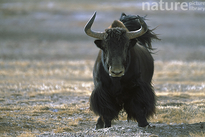 Yak (Bos grunniens mutus) front view of large adult, Tibet, Adult, Ari, Bos grunniens mutus, Color Image, Day, Front View, Frontal, Full Length, Horizontal, ILCP, Large, Looking at Camera, Nobody, One Animal, Photography, Standing, Tibet, Wildlife, Yak,Yak,Tibet, Xi Zhinong