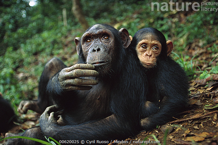 Chimpanzee (Pan troglodytes) adult female with orphan baby she has adopted, Gabon, Adult, Baby, Captive, Chimpanzee, Close Up, Color Image, Day, Endangered Species, Front View, Full Length, Gabon, Gazing, Horizontal, Looking at Camera, Mother, Nobody, Pan troglodytes, Photography, Snuggling, Thinking, Two Animals, Wildlife,Chimpanzee,Gabon, Cyril Ruoso