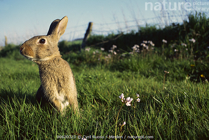 European Rabbit (Oryctolagus cuniculus) in a meadow, France, Alert, Close Up, Color Image, Day, European Rabbit, Fence, France, Front View, Full Length, Horizontal, Meadow, Nobody, One Animal, Oryctolagus cuniculus, Photography, Spring, Wildlife,European Rabbit,France, Cyril Ruoso