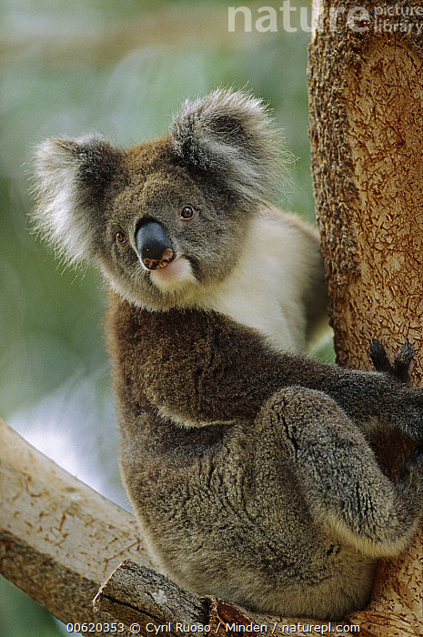 Koala (Phascolarctos cinereus) adult in tree, Grampians National Park, Australia, Australia, Captive, Close Up, Color Image, Day, Full Length, Grampians National Park, Koala, Looking at Camera, Marsupial, Nobody, One Animal, Phascolarctos cinereus, Photography, Side View, Vertical, Victoria, Wildlife,Koala,Australia, Cyril Ruoso
