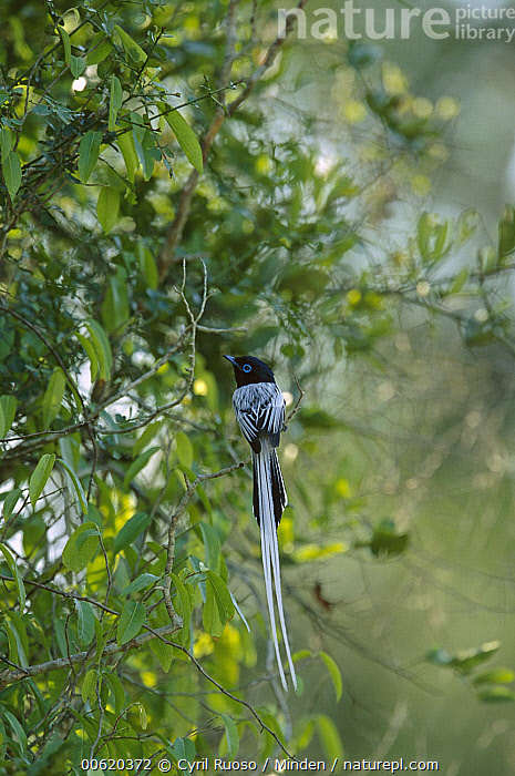 Madagascar Paradise Flycatcher (Terpsiphone mutata) white male morph perching in tree, Bealoka Reserve, Madagascar  ,  Animal in Habitat, Bealoka Reserve, Color Image, Day, Full Length, Madagascar, Madagascar Paradise Flycatcher, Male, Nobody, One Animal, Pale Form, Perching, Photography, Rear View, Terpsiphone mutata, Tree, Vertical, Wildlife,Madagascar Paradise Flycatcher,Madagascar  ,  Cyril Ruoso