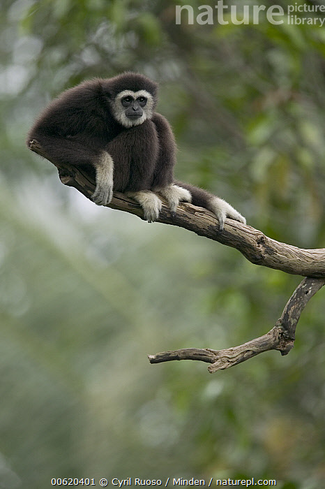 White-handed Gibbon (Hylobates lar) sitting in tree, native to southeast Asia, Captive, Color Image, Day, Endangered Species, Front View, Full Length, Hylobates lar, Nobody, One Animal, Photography, Sitting, Vertical, White-handed Gibbon, Wildlife, Zoo,White-handed Gibbon, Cyril Ruoso
