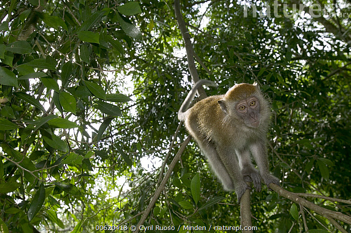 Long-tailed Macaque (Macaca fascicularis) in tree, Malaysia, Animal in Habitat, Animal in Landscape, Color Image, Crab-eating Macaque, Day, Front View, Full Length, Horizontal, Long-tailed Macaque, Low Angle View, Macaca fascicularis, Macaque, Malaysia, Monkey, Nobody, One Animal, Photography, Rainforest, Wildlife,Long-tailed Macaque,Malaysia, Cyril Ruoso