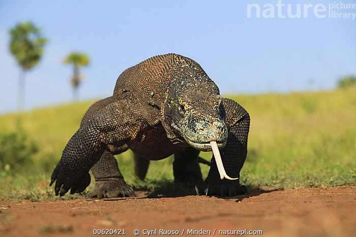 Komodo Dragon (Varanus komodoensis) using tongue to smell, Komodo National Park, Indonesia  ,  Approaching, Color Image, Day, Front View, Full Length, Horizontal, Indonesia, Komodo Dragon, Komodo National Park, Largest, Lizard, Looking at Camera, Nobody, One Animal, Outdoors, Photography, Searching, Sensing, Smelling, Threatened Species, Tongue, Varanus komodoensis, Vulnerable Species, Wildlife,Komodo Dragon,Indonesia  ,  Cyril Ruoso